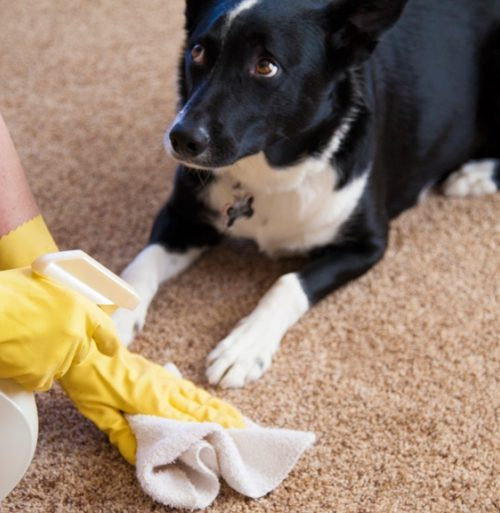 3 homemade solutions for killing the pet odor and bad stains from the carpets