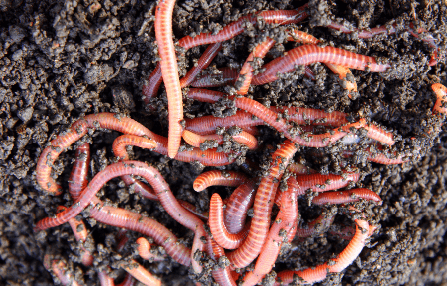 Mistakes to avoid when composting with worms